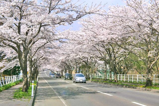 来さまい大畑桜ロード(例年4月下旬から見頃。国道279号沿い、全長約7.8km)